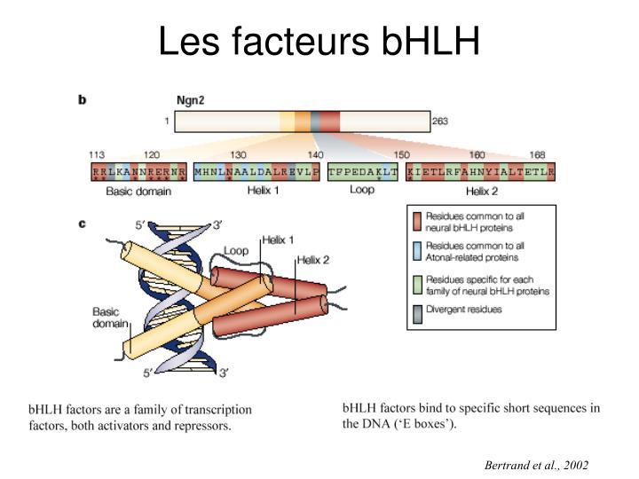 Les facteurs bHLH
