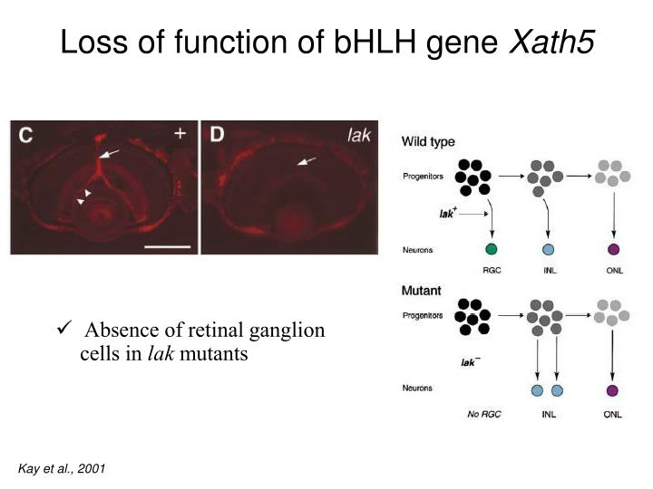 Loss of function of bHLH gene