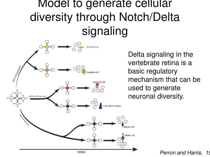 Model to generate cellular diversity through Notch/Delta signaling