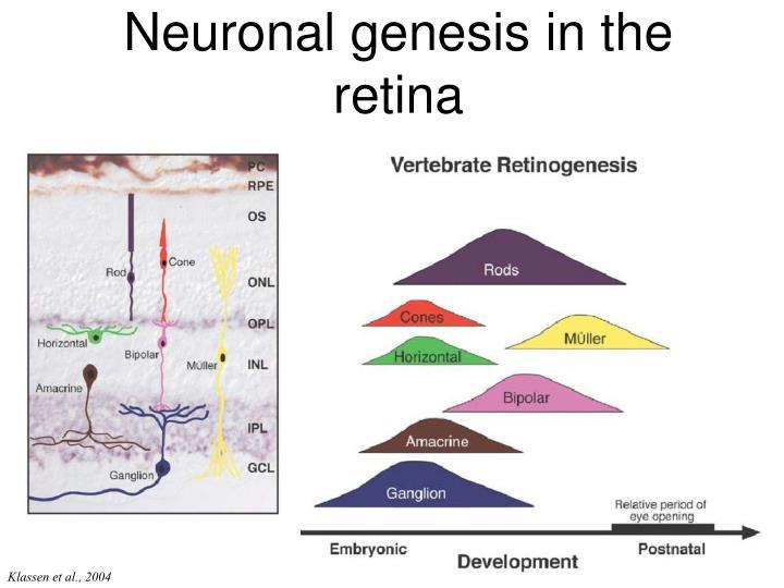 Neuronal genesis in the retina