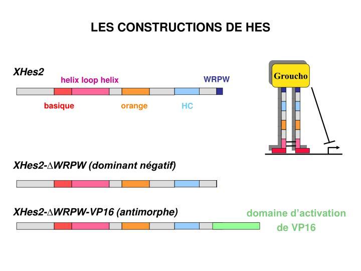 XHes2-∆WRPW (dominant négatif)