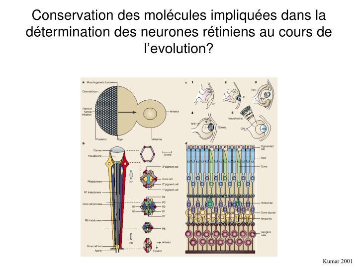 Conservation des molécules impliquées dans la détermination des neurones rétiniens au cours de l'evolution?
