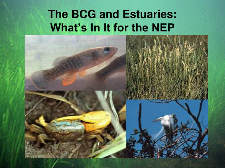 The bcg and estuaries what s in it for the nep