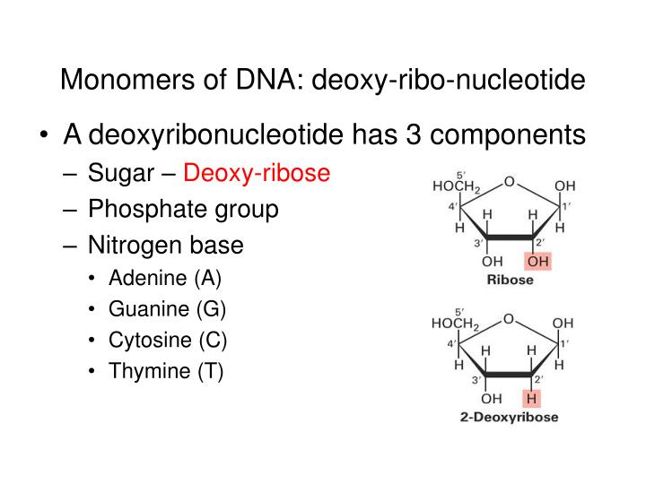 Monomers of DNA: deoxy-ribo-nucleotide