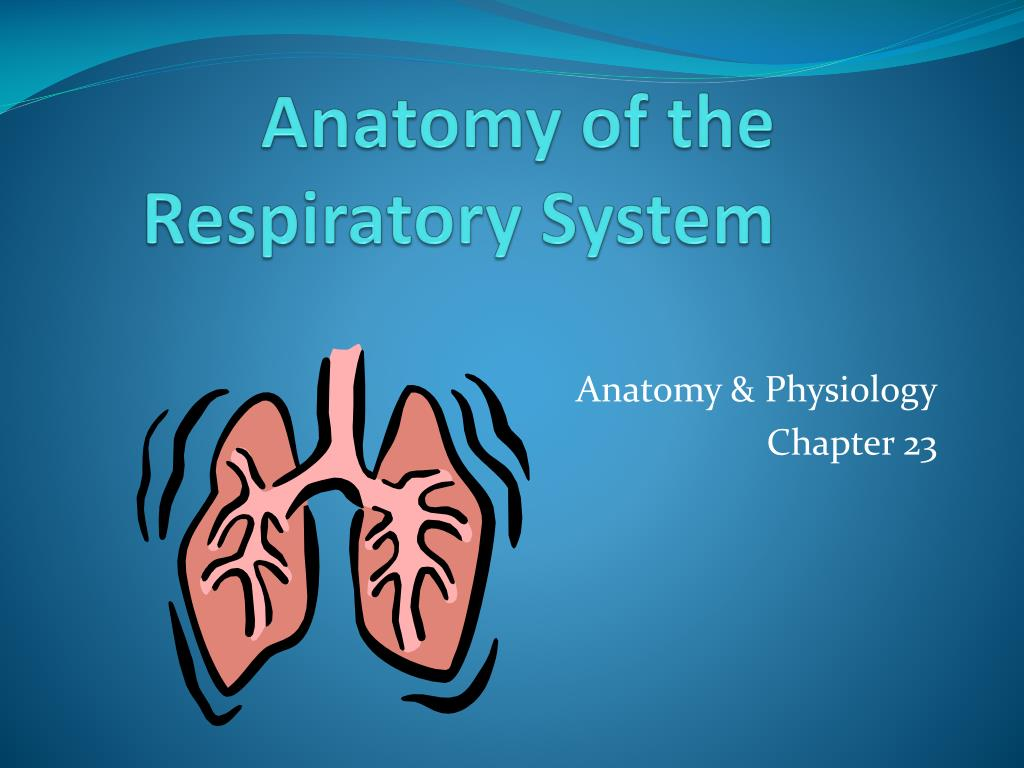 PPT - Anatomy of the Respiratory System PowerPoint Presentation - ID ...