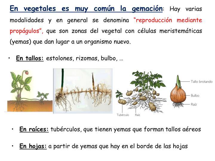 En vegetales es muy común la gemación