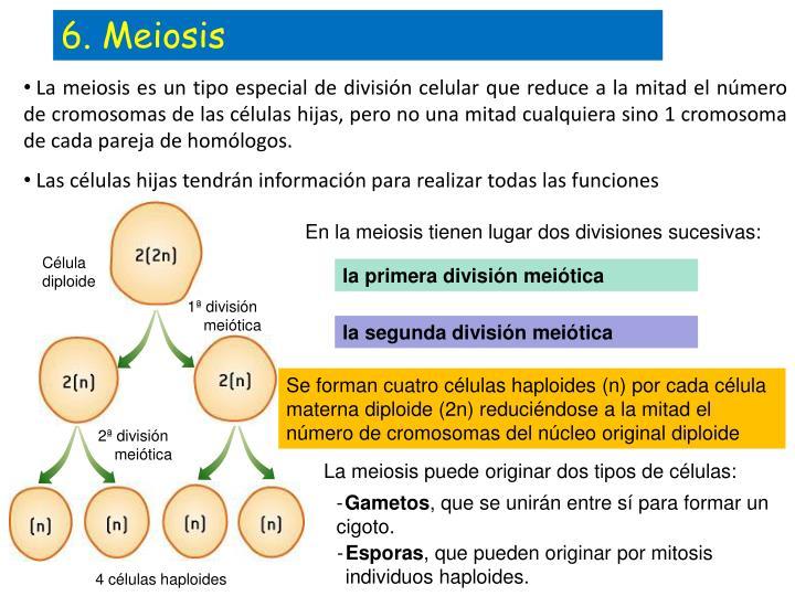 6. Meiosis
