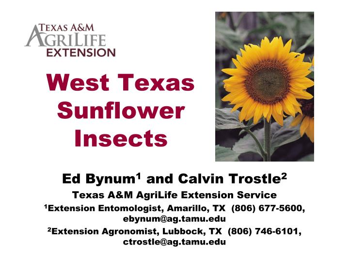 west texas sunflower insects n.