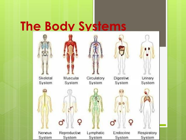 the body systems n.