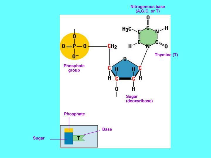 Nitrogenous base