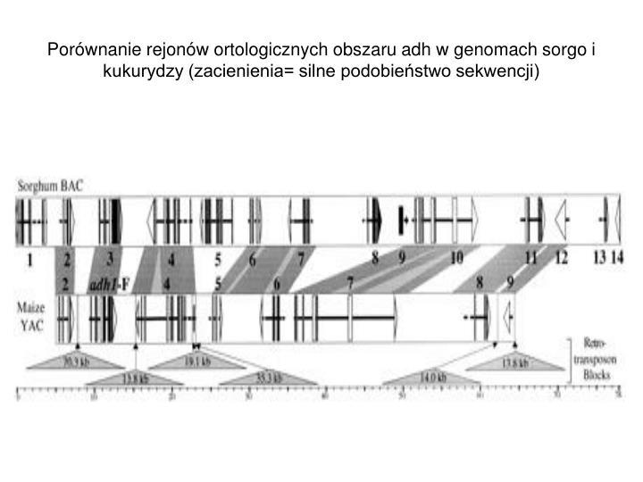 Porównanie rejonów ortologicznych obszaru adh w genomach sorgo i kukurydzy (zacienienia= silne podobieństwo sekwencji)