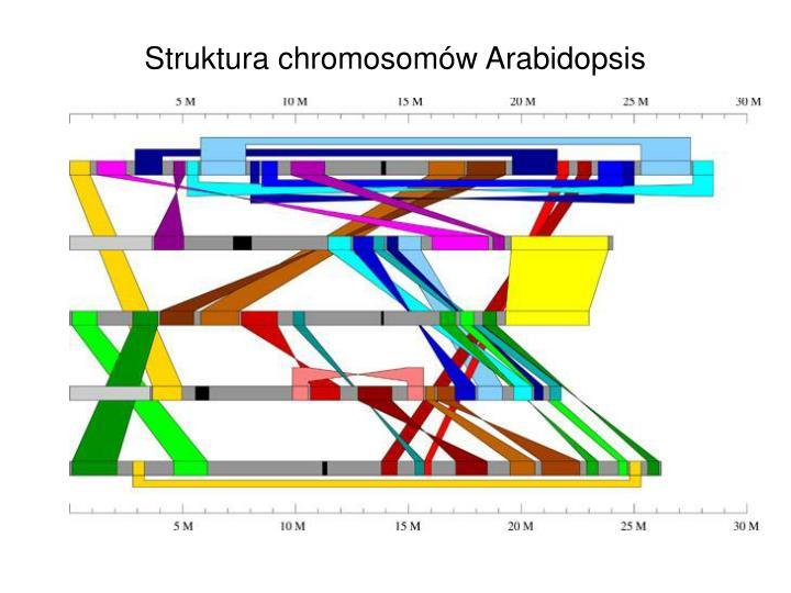 Struktura chromosomów Arabidopsis