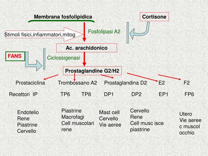 Membrana fosfolipidica