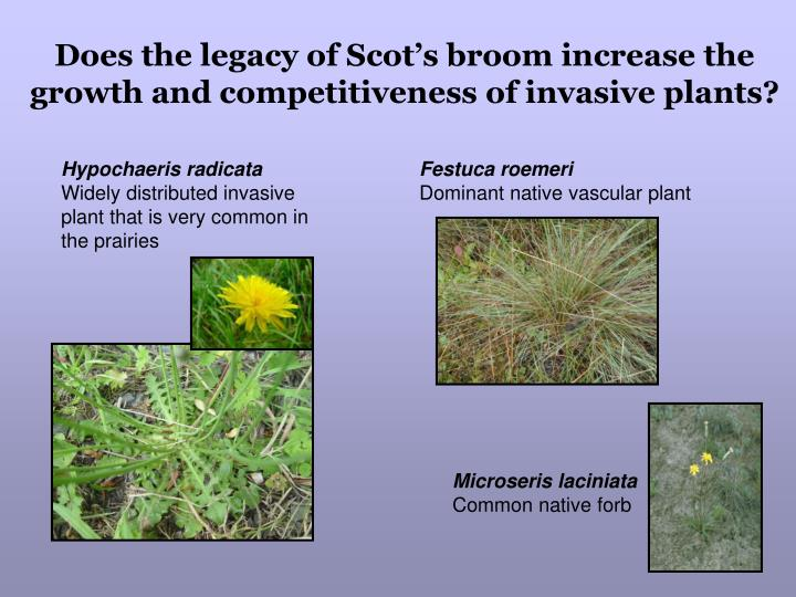 Does the legacy of Scot's broom increase the growth and competitiveness of invasive plants?