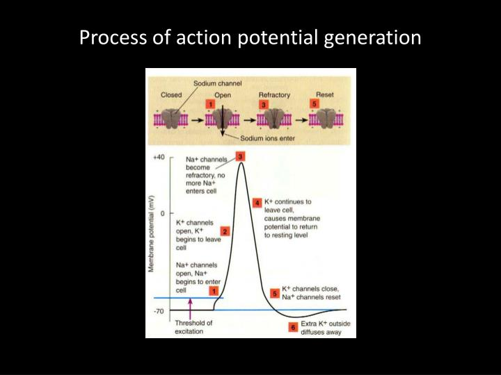 Process of action potential generation