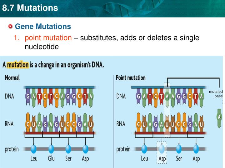 essay on gene mutation The inherited mutations, on the other hand, are passed down the reproduction lines, while the point mutations can be caused by factors of the environment (darnell & lodish, 2014) analyzing the genetic information of a person.
