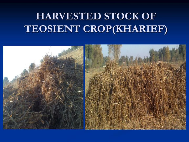 Harvested stock of teosient crop kharief