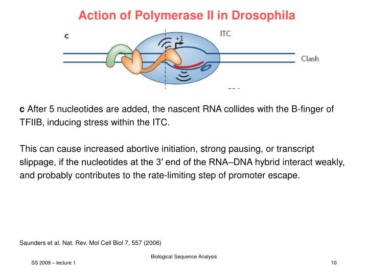 Action of Polymerase II in Drosophila