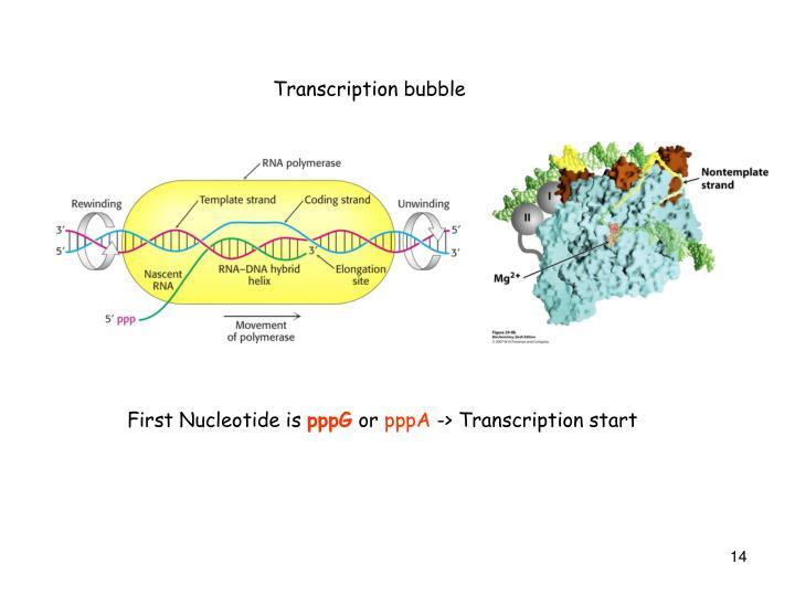 Transcription bubble