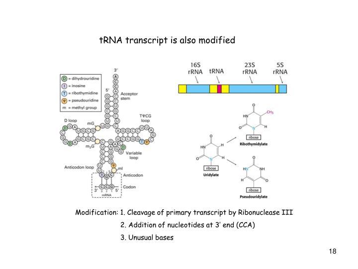 tRNA transcript is also modified