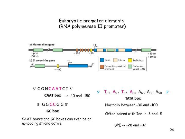 Eukaryotic promoter elements (RNA polymerase II promoter)