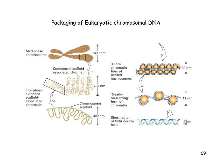 Packaging of Eukaryotic chromosomal DNA