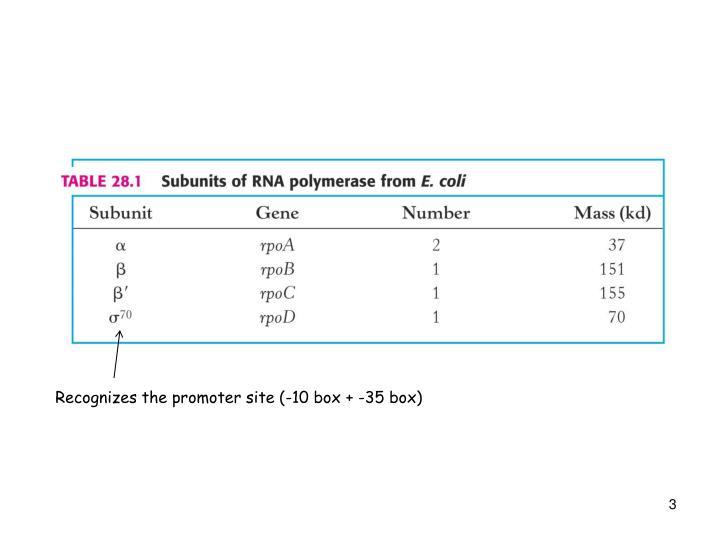 Recognizes the promoter site (-10 box + -35 box)