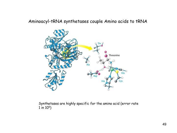 Aminoacyl-tRNA synthetases couple Amino acids to tRNA
