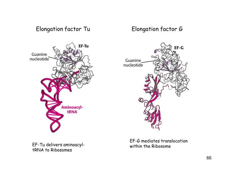 Elongation factor Tu
