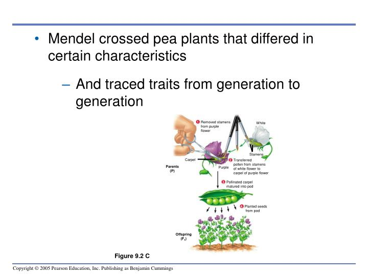 Mendel crossed pea plants that differed in certain characteristics