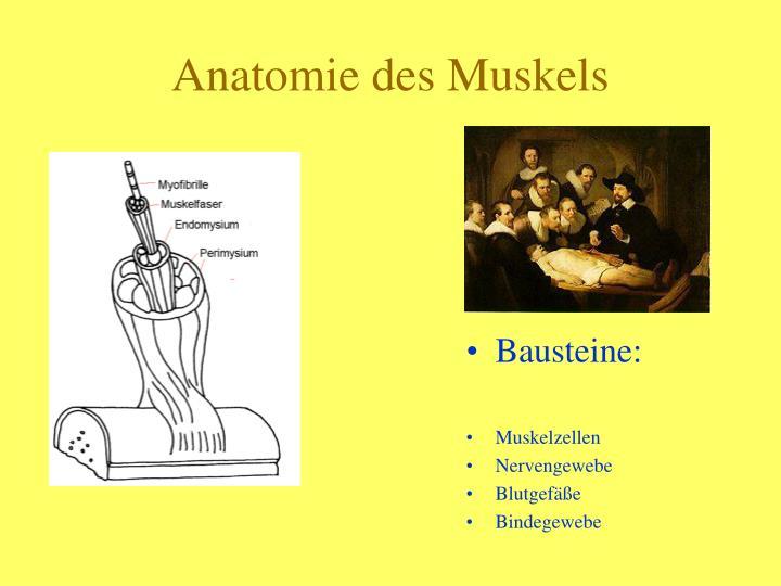 PPT - Der Muskel im Sport PowerPoint Presentation - ID:4807737
