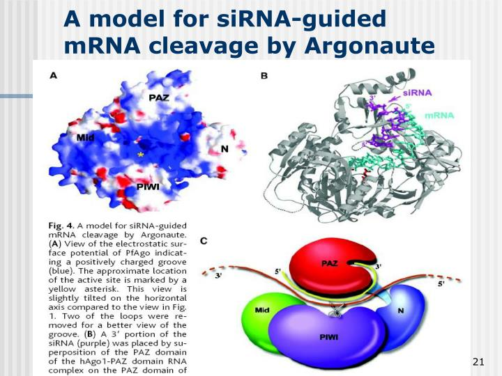 A model for siRNA-guided