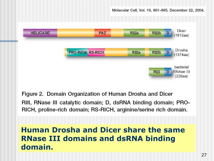 Human Drosha and Dicer share the same RNase III domains and dsRNA binding domain.