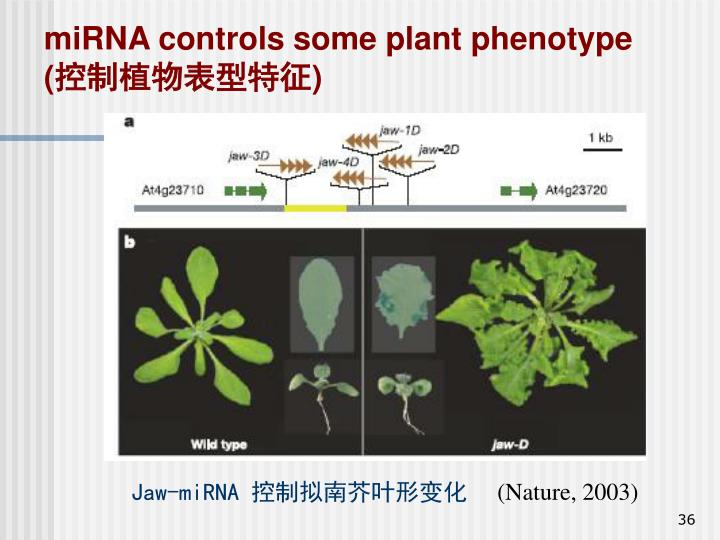 miRNA controls some plant phenotype (