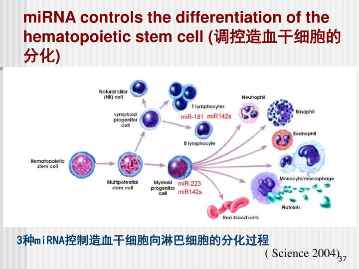 miRNA controls the differentiation of the hematopoietic stem cell (