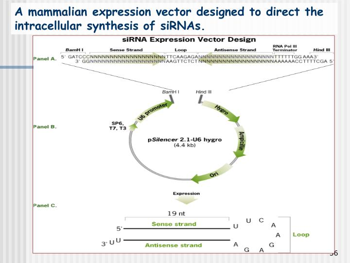 A mammalian expression vector designed to direct the intracellular synthesis of siRNAs.