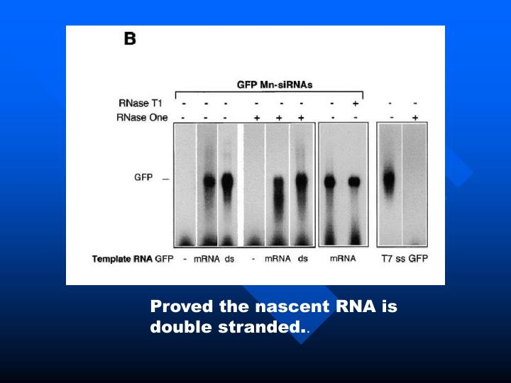 Proved the nascent RNA is