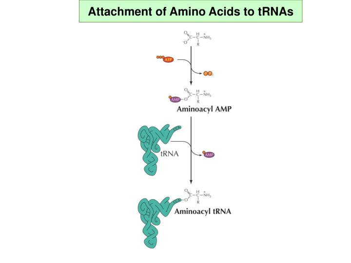Attachment of Amino Acids to tRNAs