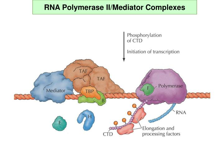 RNA Polymerase II/Mediator Complexes