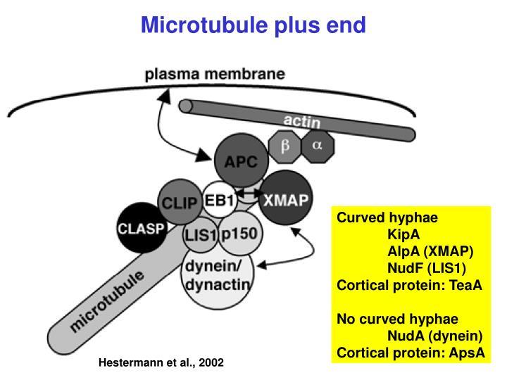 Microtubule plus end