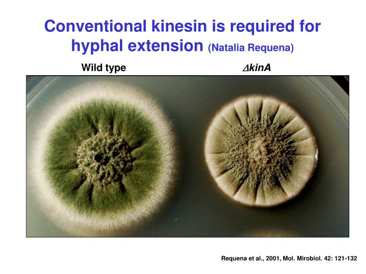 Conventional kinesin is required for