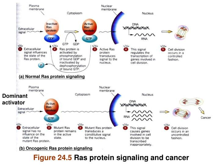 (a) Normal Ras protein signaling