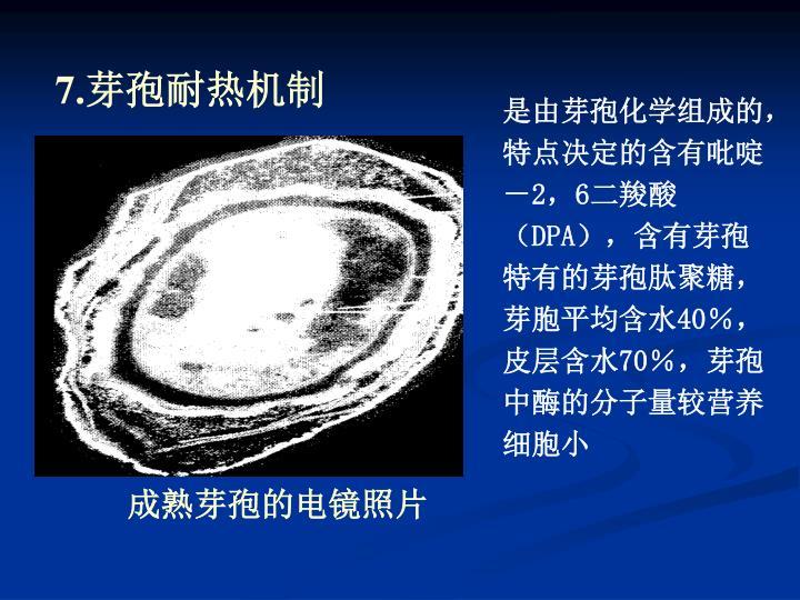 成熟芽孢的电镜照片