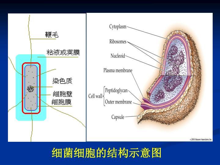 细菌细胞的结构示意图