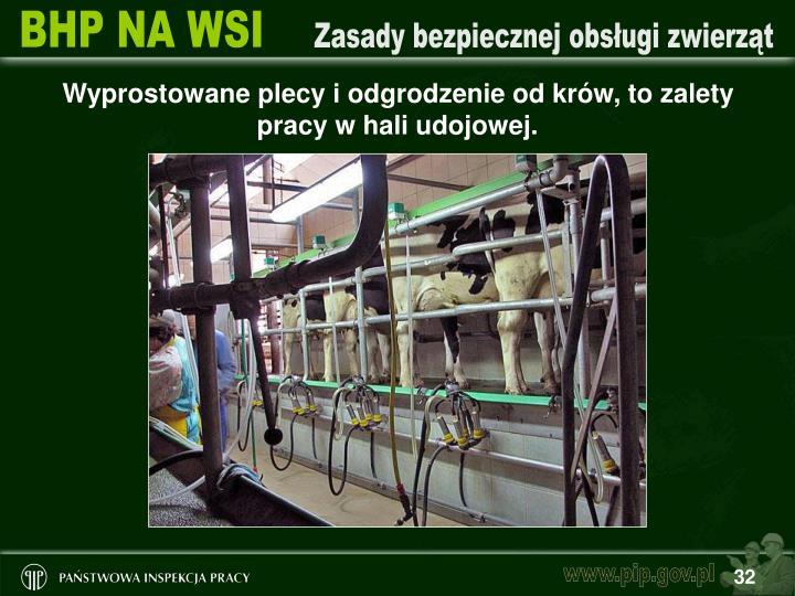 Wyprostowane plecy i odgrodzenie od krów, to zalety pracy w hali udojowej.