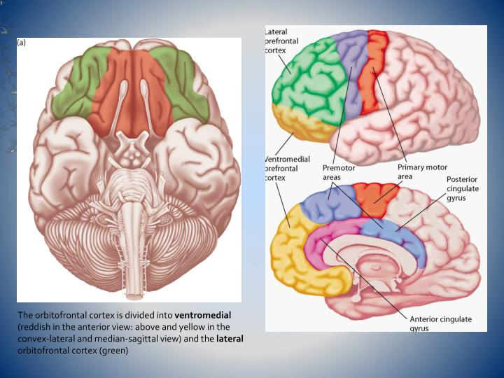 The orbitofrontal cortex is divided into