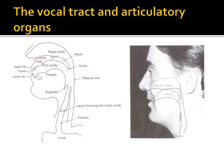 Ppt The Vocal Tract And Initiation Of Speech Anatomy And