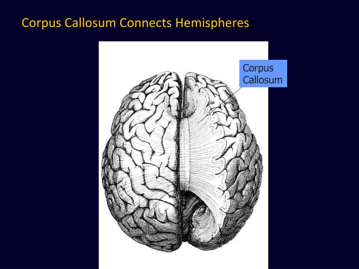 Corpus Callosum Connects Hemispheres