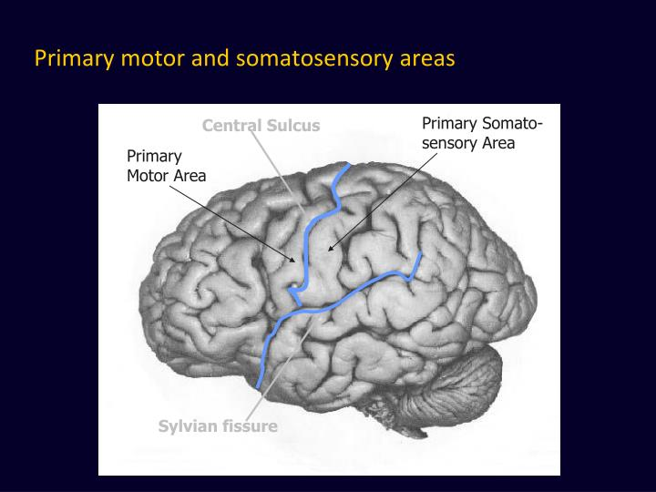 Primary motor and somatosensory areas