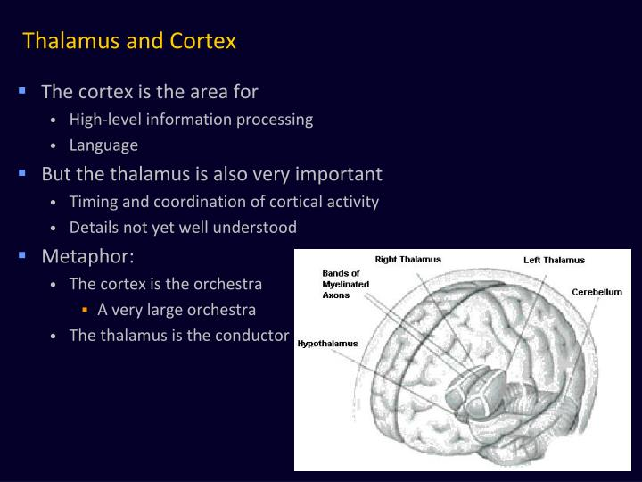 Thalamus and Cortex